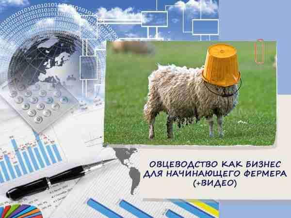 Овцеводство как бизнес для начинающего фермера (+видео)