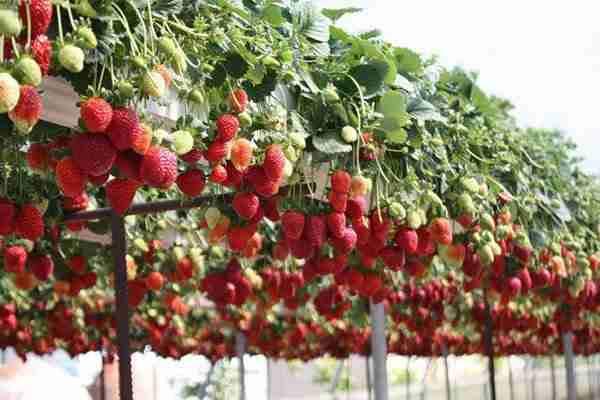 Выращивание клубники в теплице (+видео)