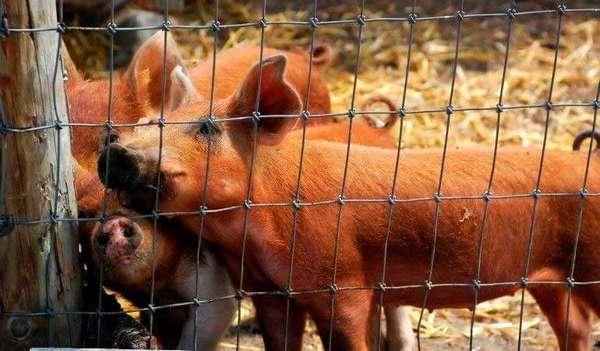 Домашний бизнес: разведение свиней на мясо и сало