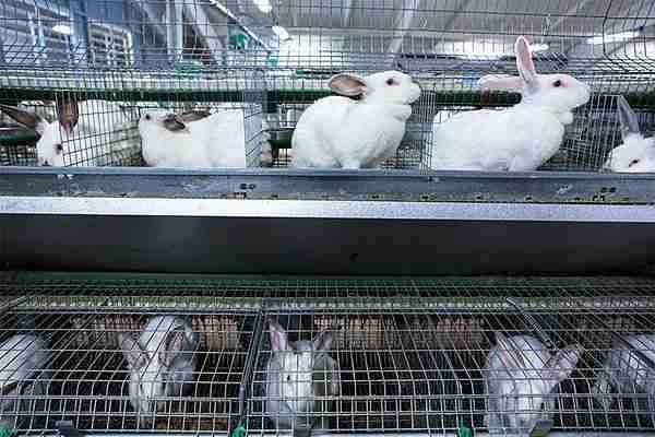 Разведение кроликов как бизнес (+видео)