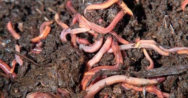 Разведение червей в домашних условиях на продажу
